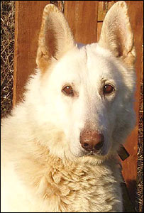 Dante the white Alsatian