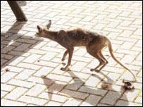 Fox in Cardiff