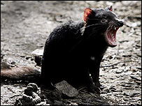 Tasmanian devil. Image: Getty Images