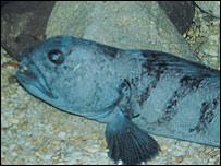 Wolf fish. Picture: Blue Reef Aquarium