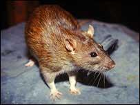 Rat (Image: NPL/Susan McMillan)