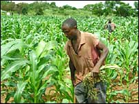 A farmer in a maize field in Zambia