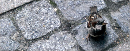 Sparrow on pavement, RSPB