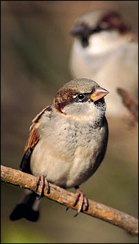 Sparrow (Image: Laurie Campbell and rspb-images.com)
