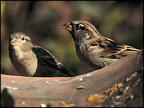 BBC News| Food scarcity is hitting sparrows. Image: Ray Kennedy and rspb-images.com