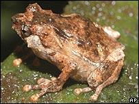 Rana encontrada en Papua Nueva Guinea