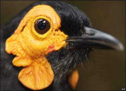 An apparently new species of smoky honey-eater, found in Indonesia's Papua province
