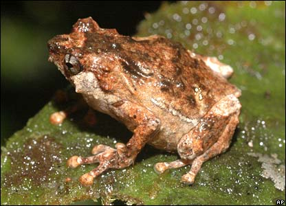 A new frog discovered on the expedition to Indonesia's Papua province