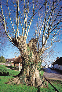 Tolpuddle tree - Edward Parker from 'Heritage Trees of Britain and Northern Ireland'