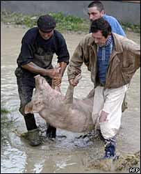 Villagers rescue a pig in Cosmesti