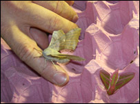 An elephant hawkmoth (right) is among the catch