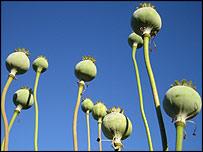 10 poppy seed pods