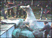 The horse being rescued from the pool - Picture courtesy of MEN Syndication
