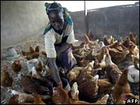 Woman feeding chickens in Nigeria