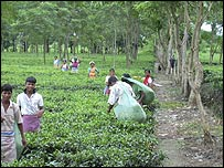Tea estate in West Bengal