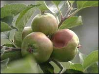 Apple growers are left to reflect on the unusual damage caused