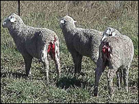 Sheep that have had skin removed (Image from Animal Liberation Australia)