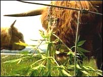 Cows eating hemp