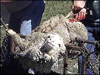 This Animal Liberation image shows the mulesing procedure