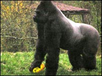 Gorilla at Paignton Zoo