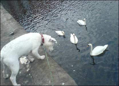 Molly the dog inspecting the swans at Swansea marina (Kyle Jones, Birchgrove, Swansea)