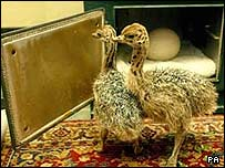 Harry and Houdini the ostriches