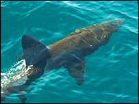 A basking shark, image courtesy of David Sims/MBA