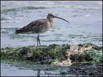 Curlew  Picture courtesy of RSPB Scotland