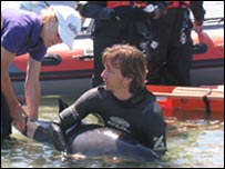 Porpoise being rescued at Perelle