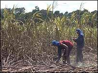 cultivo de caña de azúcar