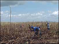 Sugar cane labourers