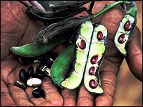 Bean crop (Image: Jules Pretty)