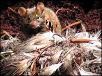 Ratón comiéndose un polluelo