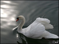 A swan on the Drava River near Maribor, Slovenia