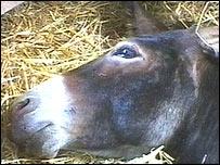 Injured donkey