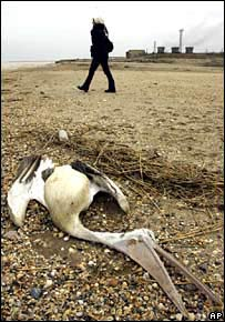 A dead swan lies on the shore in Azerbaijan.  Image: AP