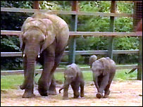 Elephants at Howletts