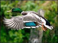 Wild duck in France