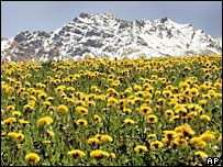 Field of dandelions in the Swiss Alps
