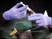 Veterinarian takes blood sample from duck in Villard Les Dombes, central France
