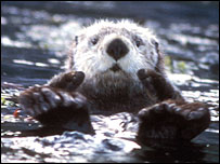 Sea otter.  Image: US Fish and Wildlife Service