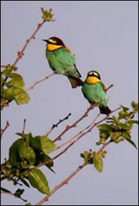 Picture of bee-eaters by Steve Dudley