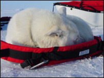 Husky dog sleeping on equipment (Image: Ice Warrior expedition)