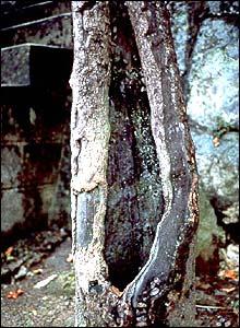 Árbol caqui que sobrevivió en Nagasaki (Gentileza: Proyecto Árbol Caqui)