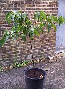 Árbol  caqui en Finsbury Park en Londres (Gentileza: Fred Alston, Parque de Finsbury Park)