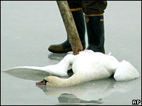 A dead swan on the island of Ruegen, off north-eastern Germany