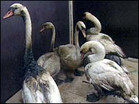 Swans covered in oil