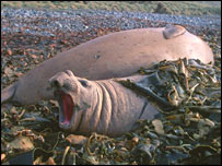 Elephant seal in the kelp (SMRU)
