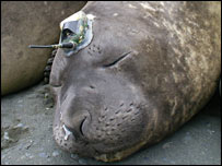 Rudolph, a tagged elephant seal (SMRU)