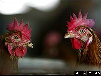 Thai chickens